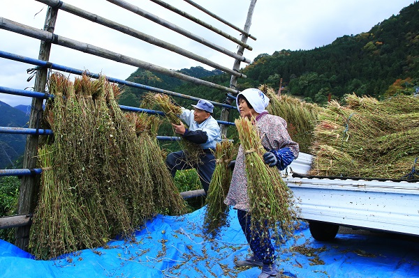 蕎麦の収穫 島田賀代